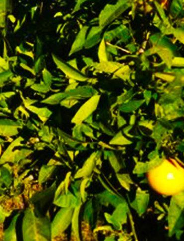 organik-limon